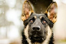 German Shepherd / If i was granted one wish, i would wish that my best friend could life forever. My dog.