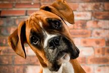 Boxers / Dogs aren't my whole life. But they make my life whole.