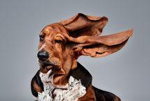 Basset Hound/Bloodhound / A basset hound is a much too big dog on much too short legs.
