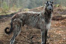 Irish Wolfhound/Scottish Deerhound