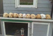 モルモット ,  guinea pig  , cavy