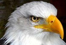 Eagles / Eagles