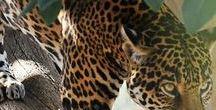 Big Cats / Big cats