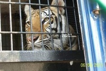 GRRR!!! ;( Circus Tigers / Animals in circuses are abused, exploited ansd suffer horribly. Help my tiger cousins and all animlas by supporting HR 3359 The Traveling Exotic Animal Protection Act, federal legislation introduced by Congressman Jim Moran which seeks to end the use of wild animals in traveling circuses. Info: http://breakthechainus.com/join-the-campaign-2/