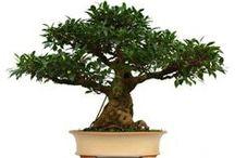 Bonsaï Trees For Sell / Bonsaï trees for sale online www.sankaly-bonsai.com