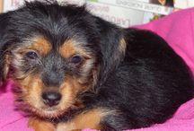 Lindt - mon Titou - my puppy