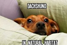"Dachshunds... True. / I've got a dachshund mixed with a chihuahua and he is known as a ""chiweenie"" but he mostly looks and acts like a dachshund. / by 🐶hayley🐶"