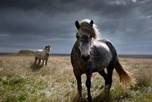 Iceland / Horses / A handpicked collection of amazing photos from Icelandic Horses. // Take a look at my other Iceland and Scandinavia related boards for more inspiring photos.