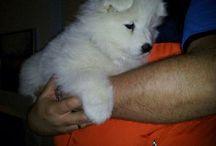 Nessie vores lille Samojede