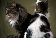 ♥ Norwegian Forest Cat ♥