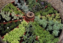 Gardening Herbs / Herbs for drying.