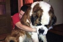 XXL LOVE / This dogs don't realize how big they are!