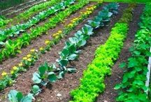 How to grow my own vegetable and herb garden