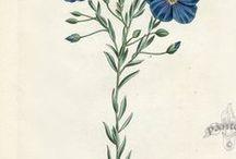 Floral Pencil / William Curtis