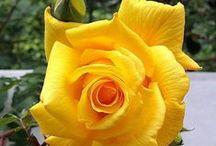 Gyönyörű rózsák:))