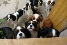 Cavalier King Charles Spaniels / My Favorite Dog / by marie johnston