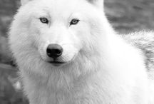 Wolves / One of the best animals in the world! For Theresa.