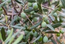 Spanish Olive Oil / One of the most famous Spanish products. Find here some information about it and great recipes!