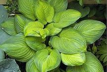 Hostas @ Dahlia Barn / Perfect for shady gardens and return bigger and better year after year ! / by Dahlia Barn