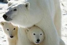 Медведи / Bears, polar bears, brown bears, cubs // Белые медведи, медвежата