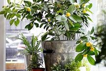 VEGETABLE garden LOVE / Tips for growing vegetables in an urban setting indoors or in containers.