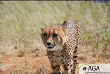 Gepardenschutz in Namibia / Farmer sehen in Geparden eine Bedrohung ihrer Nutzviehbestände. Sie stellen Fallen auf und töten die Katzen. Die AGA setzt sich für die Lösung dieses Konfliktes ein und versorgt zudem verletzte und verwaiste Geparde.