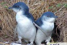 Schutz der Zwergpinguine  / Die Zahl der Pinguine in Australien ist in den letzten Jahren besorgniserregend zurückgegangen.Die Aufklärung von Bevölkerung und Touristen eine große Rolle sowie die Durchführung wissenschaftlicher Untersuchungen der verbliebenen Pinguinbestände.  Außerdem werden Nisthilfen für die Tiere angebracht, denn natürliche Nistplätze sind immer schwerer zu finden.  Die Aktionsgemeinschaft Artenschutz (AGA) e.V. setzt sich für den Schutz der bedrohten Zwergpinguine ein.