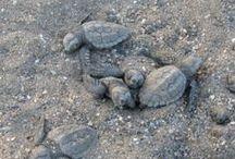 Meeresschildkrötenprojekt in der Türkei  / Der Strand von Anamur zählt zu den bedeutendsten Niststränden der Unechten Karettschildkröte im Mittelmeerraum. Der Schutz der Niststrände ist sehr wichtig, da Meeresschildkröten zur Eiablage immer nur an den Strand zurückkommen, an dem sie selbst geschlüpft sind. Der Niststrand von Anamur ist akut durch z.B. Straßenbau, Bau von Hotelkomplexen, wild abgelagerte Abfälle und Ähnlichem bedroht. Die Aktionsgemeinschaft Artenschutz setzt sich für den Schutz des Niststrandes in Anamur ein.