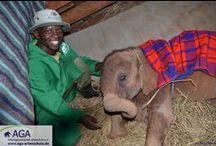 Projektbesuch der AGA im Elefantenwaisenhaus (Januar 2014) / Im Januar 2014 besuchte die AGA ihren Projektpartner, den David Sheldrick Wildilfe Trust, in Kenia. Im Elefantenwaisenhaus werden verwaiste Elefantenbabies wieder aufgepäppelt und auf ein Leben in der Wildnis vorbereitet.  www.aga-artenschutz.de/elefantenwaisen.html