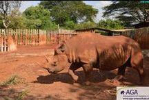 Nashorn Maxwell / Im Elefantenwaisenhaus des DSWT, das von der AGA unterstützt wird, werden nicht nur verwaiste und verletzte Elefanten medizinisch versorgt und so lange gepflegt, bis sie wieder ausgewildert werden können, sondern auch weitere Tiere, wie beispielsweise Nashörner. Tiere, die nicht wieder ausgewildert werden können, finden in der Station ein neues, artgerechtes Zuhause und so hat auch das Nashorn Maxwell einen sicheren Platz im DSWT-Waisenhaus bei Nairobi gefunden.