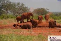 Schlammbad an der Auswilderungsstation Voi / Die geretteten Elefantenwaisen des DSWT bleiben im Elefantenwaisenhaus in Nairobi, bis sie ungefähr 2 Jahre alt sind und werden anschließend in den Tsavo East Nationalpark und die dortigen Auswilderungsstationen Voi und Ithumba umgesiedelt. Hier erlernen sie durch Hilfe der älteren, bereits ausgewilderten Elefanten nach und nach das Leben in freier Wildbahn kennen. Das Schlammbaden spielt dabei auch eine wichtige Rolle  www.aga-artenschutz.de/elefantenwaisen.html