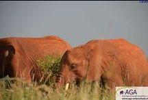 Ausflug der Elefantenwaisen in den Tsavo East Nationalpark / In der Auswilderungsstation Voi lernen die Elefantenwaisen durch Hilfe der älteren, bereits ausgewilderten Elefanten nach und nach das Leben in freier Wildbahn kennen. Täglich unternehmen sie, begleitet von den Pflegern des DSWT, Ausflüge in den Nationalpark und treffen dort auch immer wieder mit wild lebenden und bereits wieder ausgewilderten Elefanten zusammen. www.aga-artenschutz.de/elefantenwaisen.html