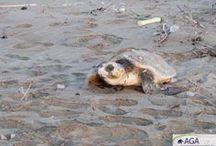 Plastikmüll bedroht Meeresschildkröten / ...