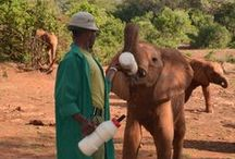 Fütterung der Elefantenwaisen / Da Elefanten keine Kuhmilch als Ersatznahrung vertragen, war es lange Zeit unmöglich, verwaiste Jungtiere am Leben zu erhalten. Dame Daphne Sheldrick entwickelte eine spezielle Milchmischung mit pflanzlichem Fett, die es von da an ermöglichte auch die kleinsten Elefanten großzuziehen.  www.aga-artenschutz.de/elefanten.html