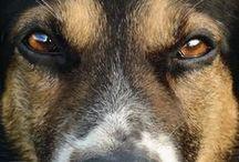 Απόγονος του Λύκου / Ευρήματα από ανασκαφές και εξετάσεις DNA, επιδεικνύουν ότι ο κατοικίδιος σκύλος προέρχεται από την εξημέρωση του λύκου της Μέσης Ανατολής που πραγματοποιήθηκε κάποτε μεταξύ 15.000 και 100.000π.Χ. Αφορμή, η πρωτόγονη ανάγκη και των δύο για τροφή!  Όμως ο σκύλος δεν είναι απλά μια εξημερωμένη μορφή λύκου. Ο σκύλος και ο λύκος είναι στη πραγματικότητα το ίδιος είδος!!