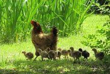 Kippen, kuikens en eendjes
