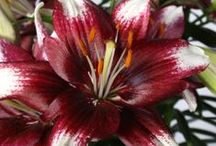 Passion Lily / The Passion Lily is specifically suitable as a patio plant. They are special because of the different combinations of warm and elegant colors in one flower. The plants are therefore perfect to brighten your terrace or balcony. The Passion Lily is strong and adheres well to weather from 10 degrees to 25 degrees.