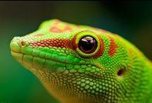terra - phelsuma, gecko