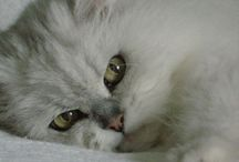 Persian Cats / Love these beautiful felines!