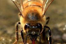 albine  , bees
