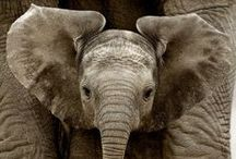 * elefanter *