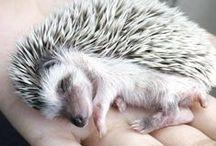 Hedgehogs / 귀여웡