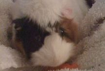 Cavy Cuties / Guinea pigs! / by Melora Jackson