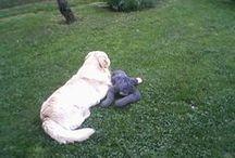 Golden Rettriver.. / Kedvenc kutyus..