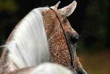 Animal Kingdom || Equus ||