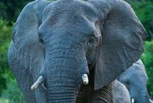 Animals | Elephants / Elephants, both African and Indian