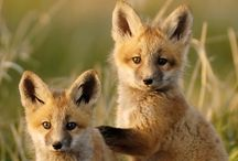 Animals | Foxes, Hounds and Dogs / Foxes, hounds and dogs of all kinds