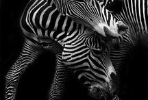 Animals | Zebra / Zebra