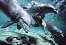 WHALES & DOLPHINS / Amazing photographs of Whales & Dolphins.  Everyone seems to love these magnificent creatures, so pin as many photos as you so desire! / by Jolisa Hume