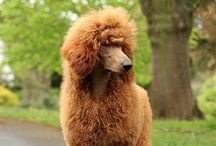 Poodle Popularity